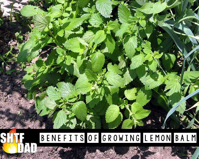 Benefits Of Growing Lemon Balm