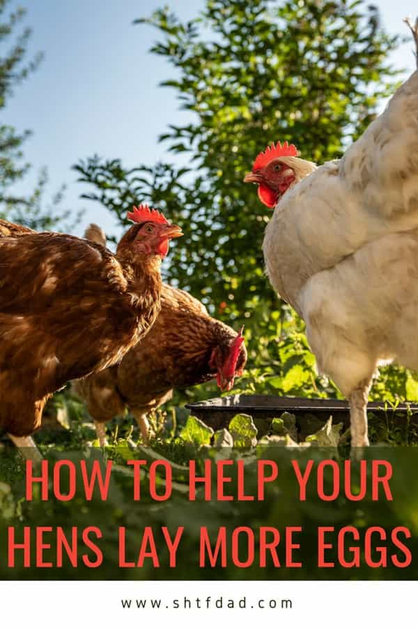 How to Help Your Hens Lay More Eggs - To help your hens lay more eggs there are various factors that affect production such as age, health and surroundings that should be considered.