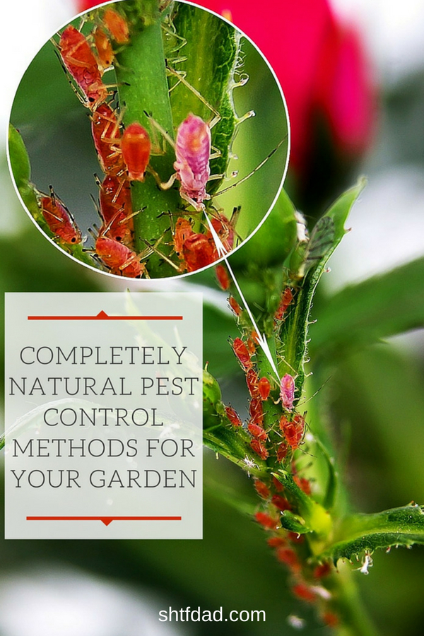 Are you looking for natural garden pest control methods? Here are a few suggestions for keeping pests away naturally. #organicgardening #gardening #gardenpests #beneficialinsects