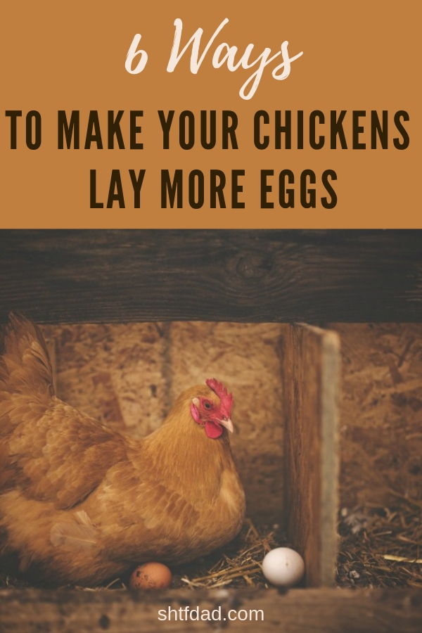 Increase egg production with these 6 easy tips. By making some small changes to your flock's care, you make your chickens lay more eggs that your family can enjoy. #chickens #layingeggs #organiceggs #freerangeeggs ##chickenfarmin #fresheggs #moreeggs #shtfdad #backyardchickenfarming
