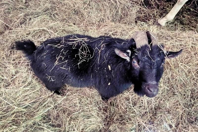 Black goat on a suburban homestead