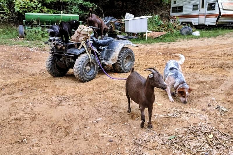 Goats and Suburban Homesteading - A Perfect Combination