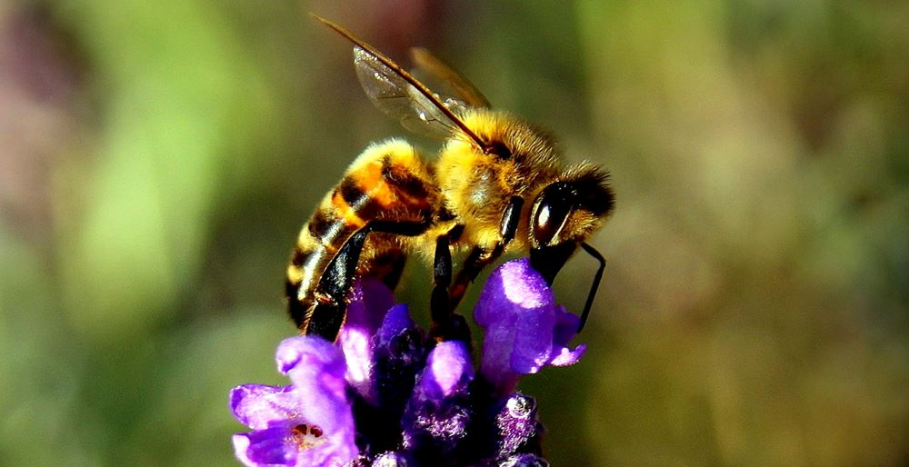 Bee at work on a lavender flower - How To Start Beekeeping For Beginners - Want to keep bees on your homestead? Here's how to start beekeeping for beginners: all you need to know to be successful keeping bees.
