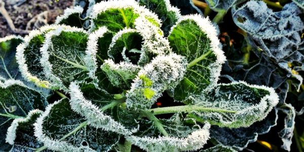 Winter Garden Plant with Frost Image - Preparing Your Garden For Winter