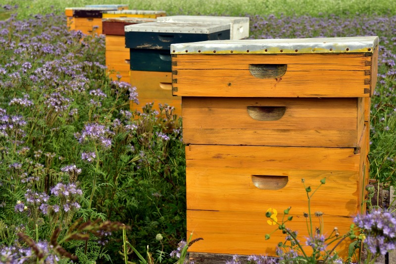 Have you ever wondered what would it take to raise bees? Would it be worth the work? Here are 8 answers to the question: why keep bees? Adding a couple of beehives in your backyard would have so many benefits! You'd get beautiful, golden, pure honey and beeswax, your garden would thrive, and you might even make some money. See all these beekeeping benefits for yourself!