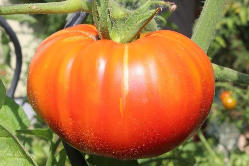 Marglobe Beefsteak Tomato