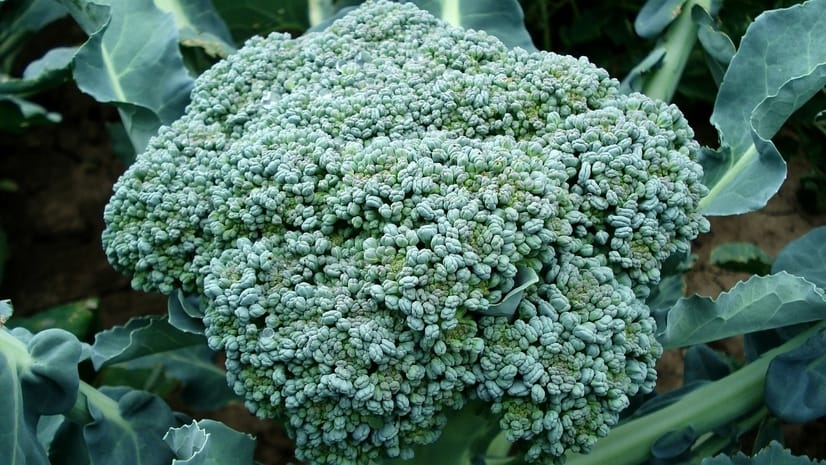 Calabrese broccoli heirloom seeds will mature early producing heads that are 8 inches across.