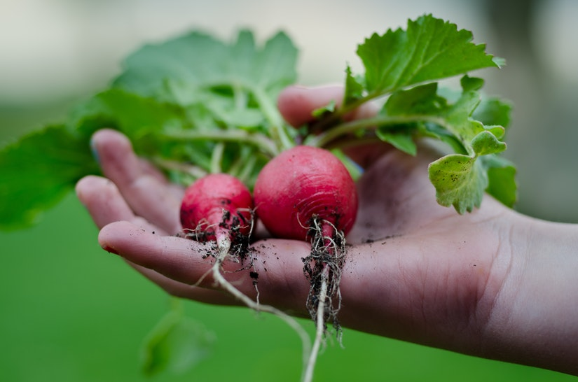 radishes held in hand
